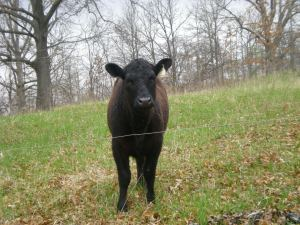 Cow behind electric fence